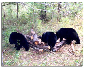 Guided black bear hunting in menominee mi for Michigan fishing license prices
